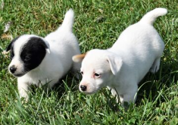 Jack Russell Terrier puppies, Registered