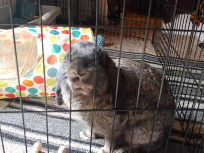 New Zealand or Mini Lop 5 months old Rabbit Bunny