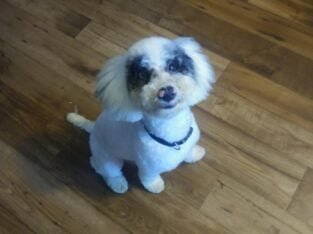 5 months old toy poodle for sale