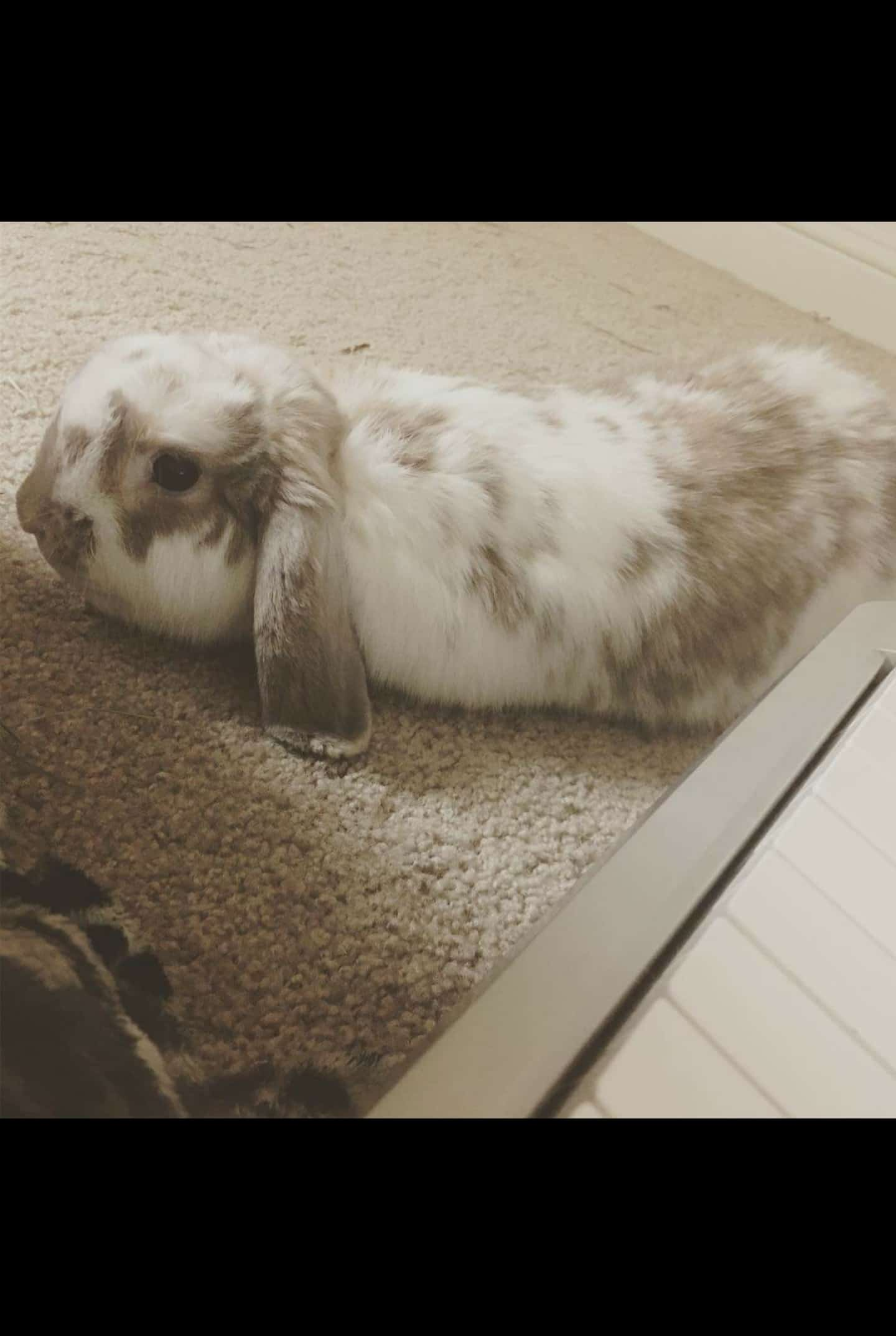 Free bunny to good home, comes with cage!