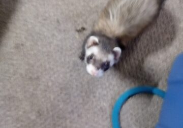 Two Loving male ferrets 5 and 4 year old