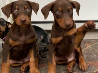 Doberman Red