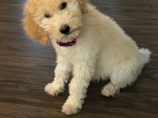 F3/multigenerational goldendoodle puppies