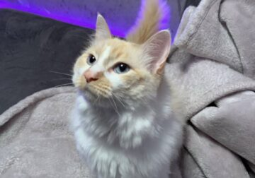 Domestic Ragamuffin Cat for Sale