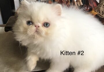 CFA Registered Solid White Persian Kittens