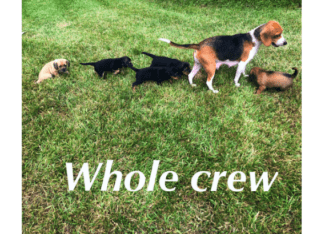 Adorable Beagle Mixed Puppies