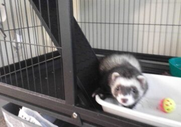 Ferret with Large Cage