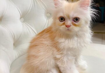 Beautiful healthy male Persian kitten available