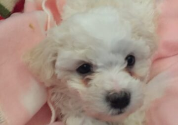 Maltese / poodle puppies