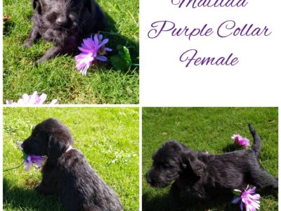Labradoodle puppies looking for a good home