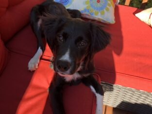 Border Collie mix Puppy for sale