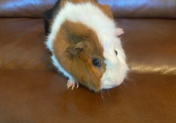 guinea pig and cage free to a good home