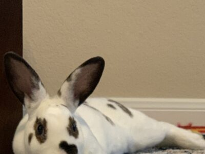 Mini Rex Rehoming