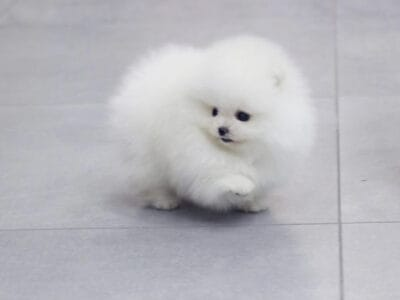 Teacup Pomeranian puppy male