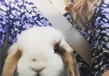 Holland Lop for adoption