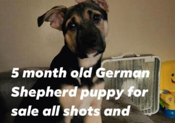 Loyal fun 5 month old German Shepherd puppy