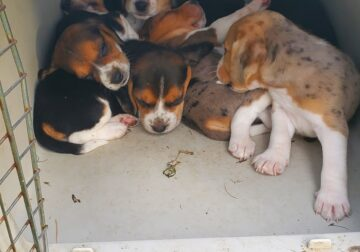 Catahoula Beagle Puppies