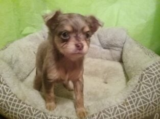 Long Hair Merle Chihuahua