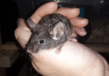 Pet and feeder mice and rats