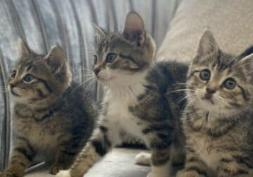 Bengal mix kittens for sale