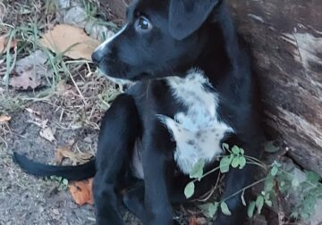 Black Lab/Heeler Puppy