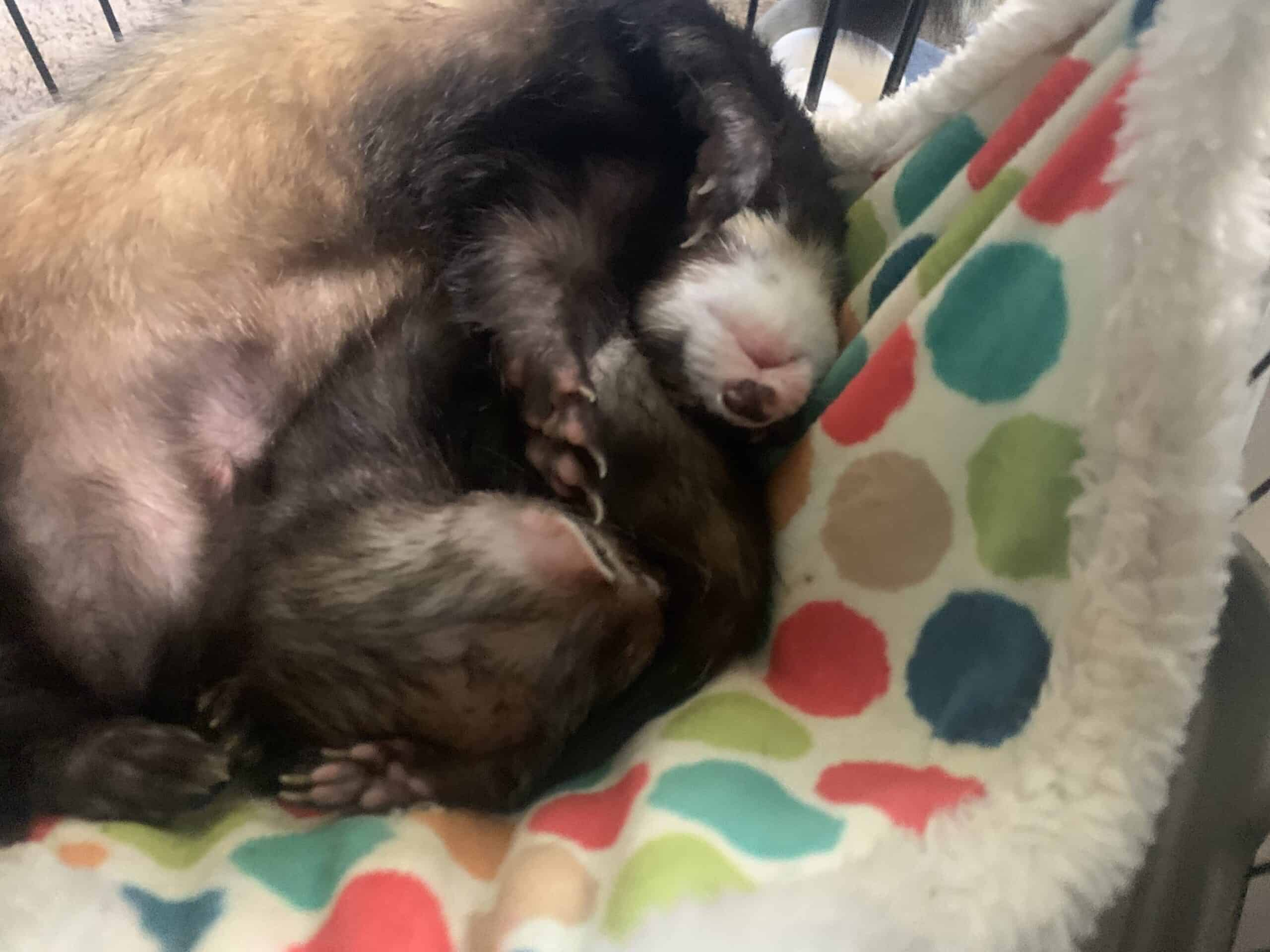 Ferrets and cage for sale