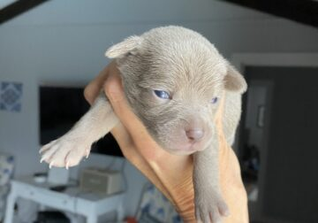 CKC Chihuahua puppies -Blue and Blue and White