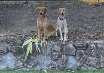 Male Yellow Lab AKC 8 months old