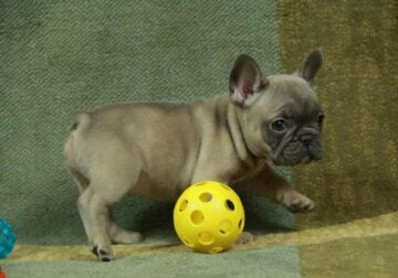Beautiful French Bulldog Puppies Available For Sal