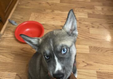 2mo. Old Husky mix puppy