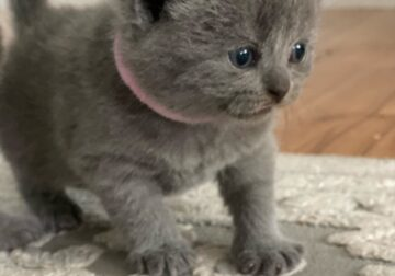 Scottish Straight Female kitten is available for a