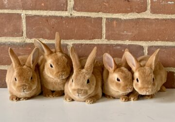 Red Mini Rex Rabbits for sale in Indiana
