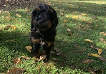Cockapoo for sale MD
