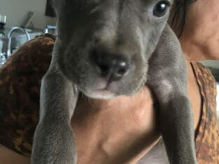 American Terrier Pit Bull puppy