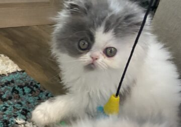 Blue and white female purebred Persian