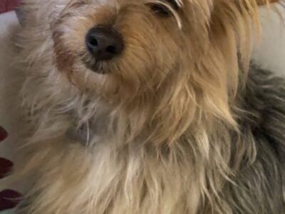 FEMALE puppy Yorkshire terrier mix
