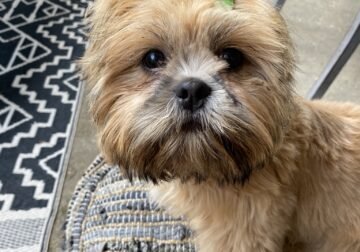 Shi Tzu, 7 months old, Neutered, Papers