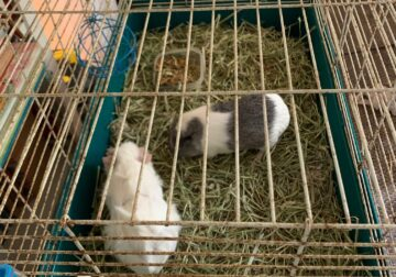 Free Guinea Pigs (2) to New Home
