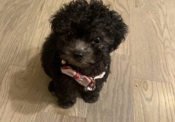 Malti Poo Female – 12 weeks old
