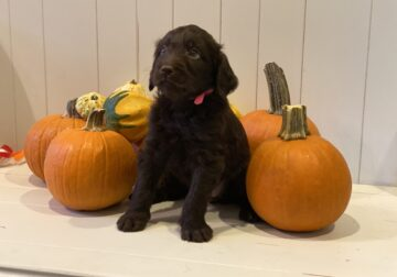 First Generation Labradoodle Puppies
