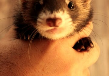 Cute 4 month old female Ferret for sale