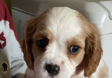 Cavalier King Charles Puppy (AKC Certified)