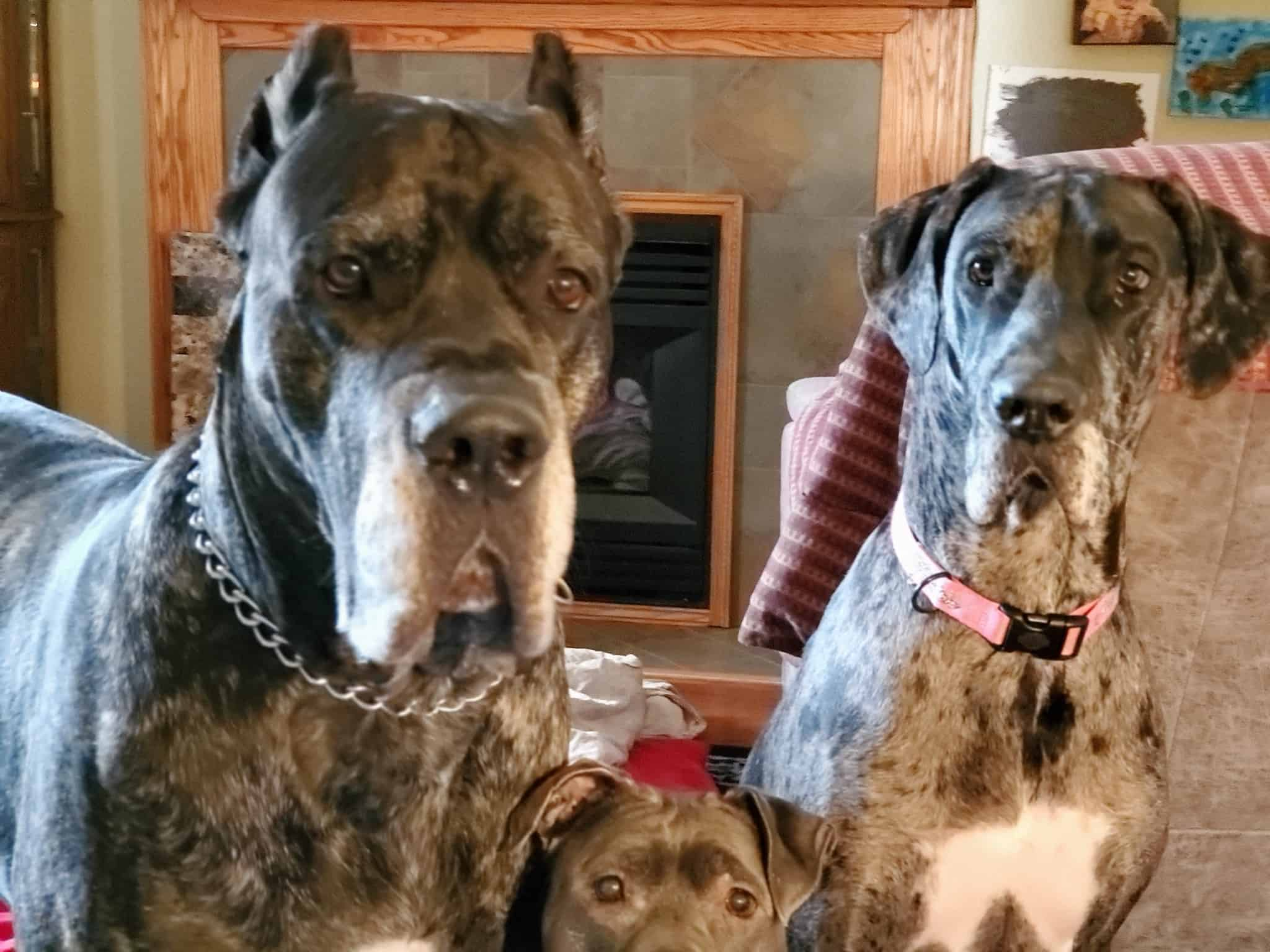 Great Dane Cane Corso Female Fawn with Black Mask