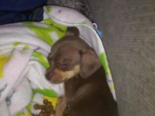 Chihuahua puppy perfect Christmas gifts