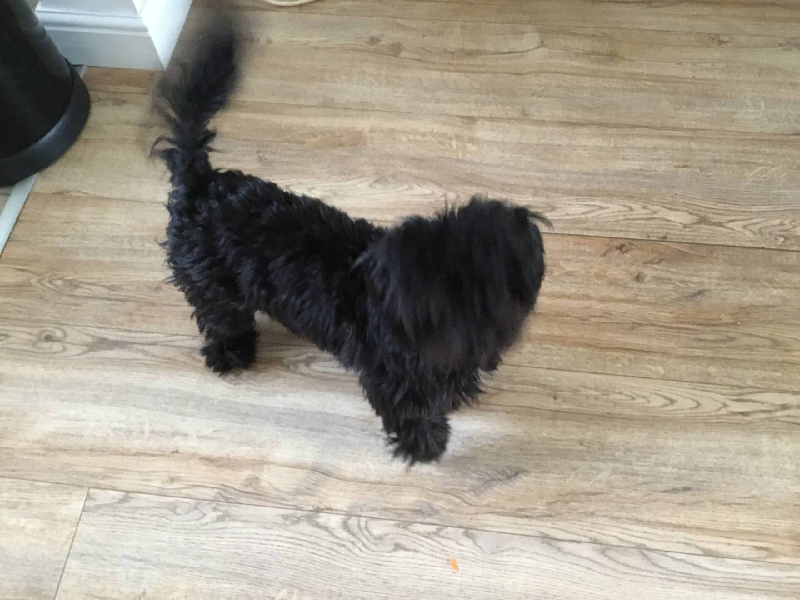 Lhasa apso/shih tzu puppy for sale. Seven months