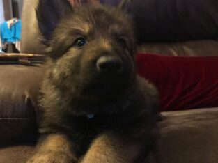 GERMAN SHEPHERD Puppy 1 male AKC