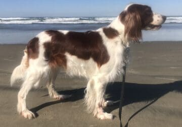 AKC Irish Red & White Setter puppies