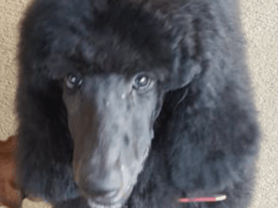 Standard Poodle Puppies!