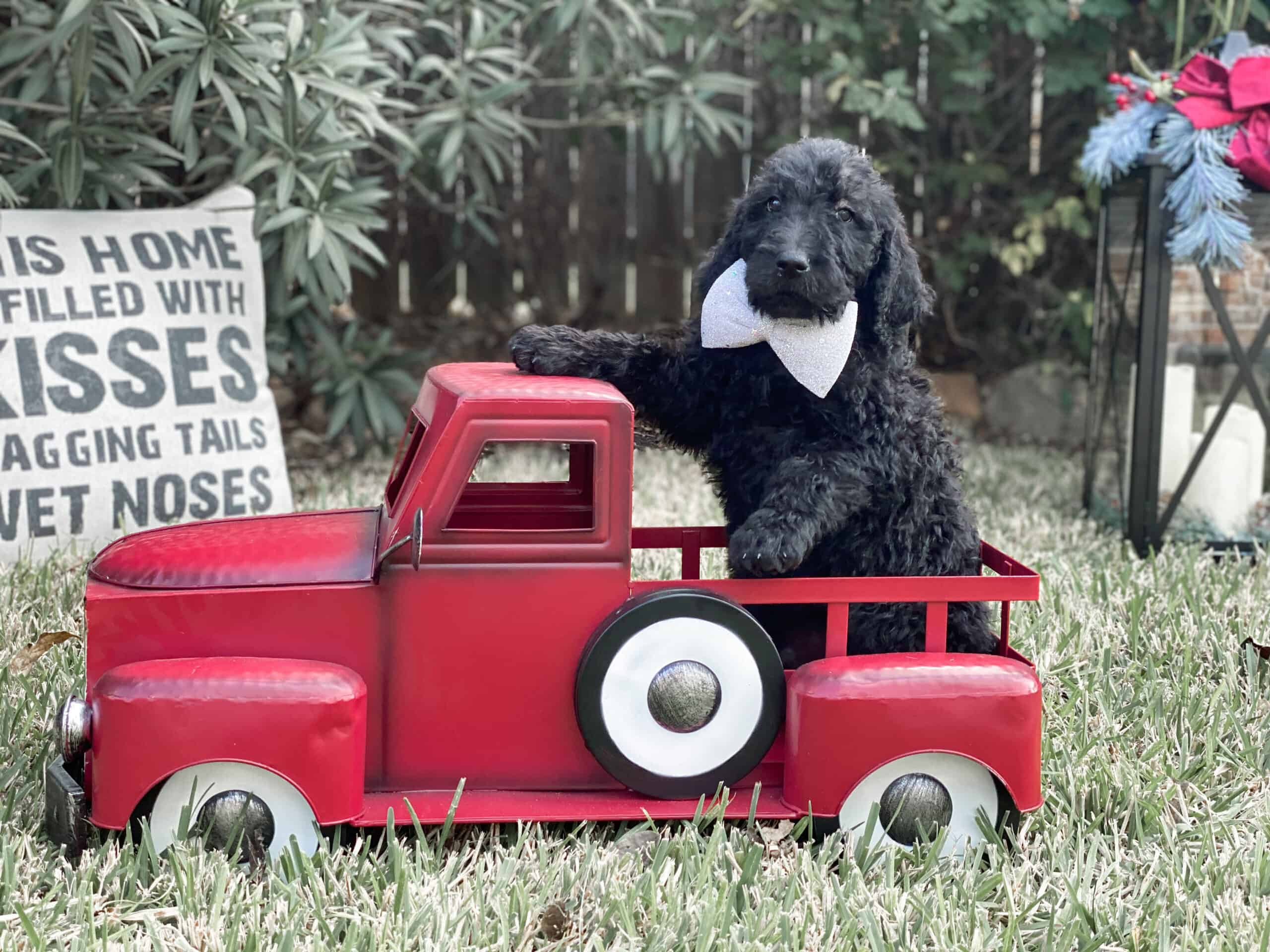 Black Goldendoodle Puppies (Ready now)