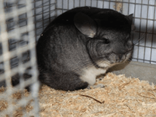 Healthy Chinchillas